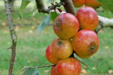 When should you pick Apples?