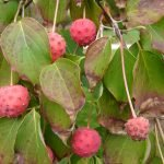 Chinese dogwood fruit