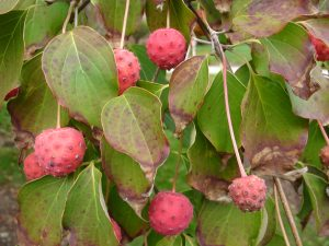 Chinese dogwood fruit