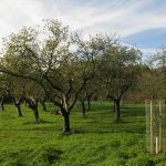 Finding London's Hidden Orchards