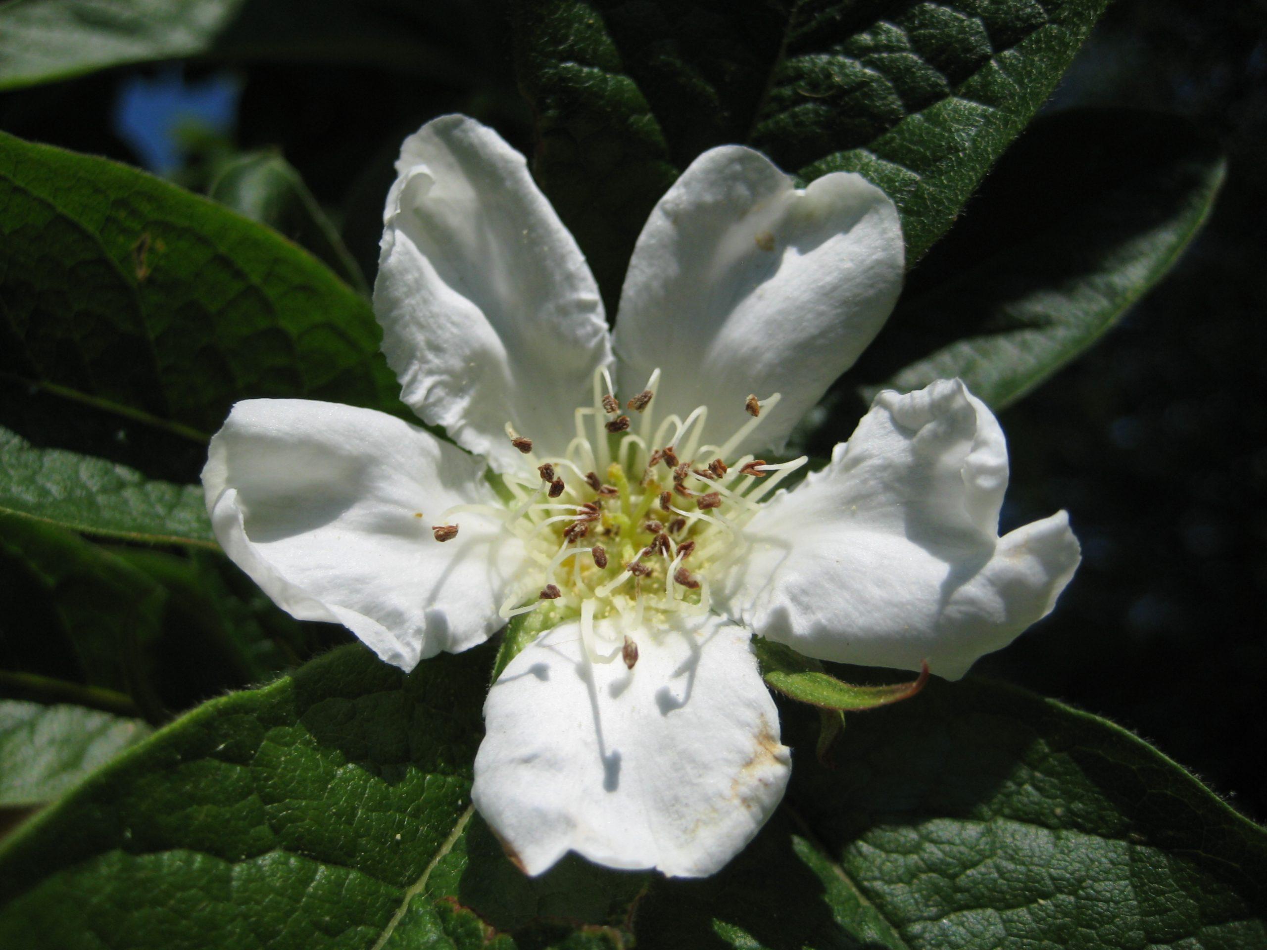 Medlar flower