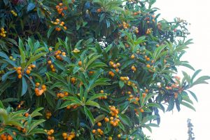 Loquats on tree