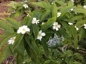 attractive medlar blossom