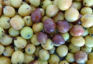 Sorbus domestica fruit ripening