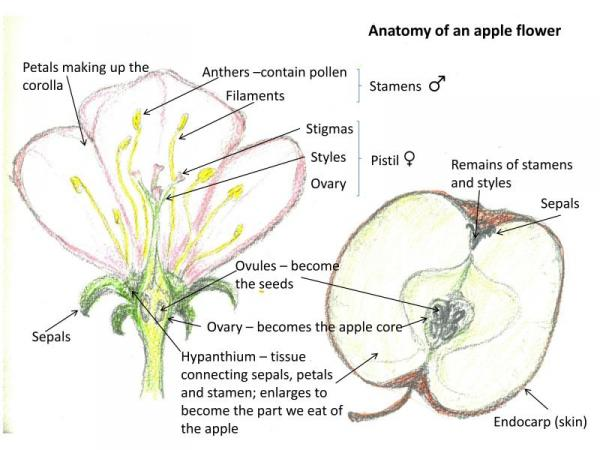 anatomy of apple flower-600x450 - The Orchard Project